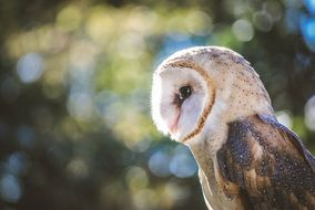 Beautiful colorful barn owl
