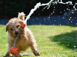terrier playing with a water hose in the garden