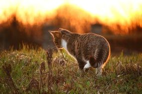 tiger cat on the grass at sunset