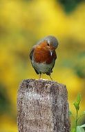 robin bird on a pole