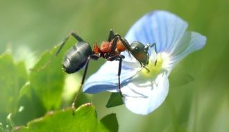 ant on blue buttercup