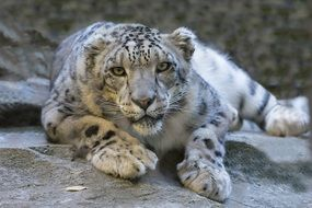 staring snow leopard