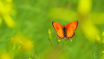 yellow scarce copper butterfly