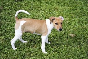 pretty Jack Russell Terrier