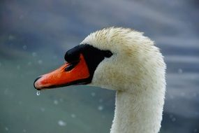 Head of the black and white swan