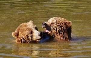 Two bears playing in the water