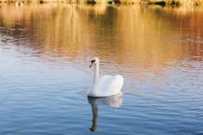 white swan on the pond in a natural environment