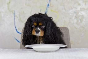 Cavalier King in front of the plate