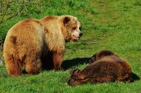 dangerous brown bears in wildpark poing