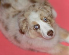 cute dog with blue eyes