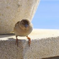 female Sparrow perched stone