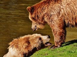 adorable Bear Wildpark Poing Play Water