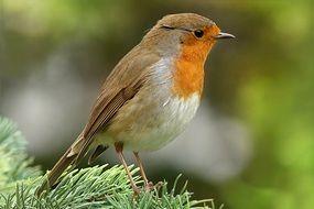 robin on the pine tree