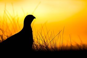 grouse on a sunrise background