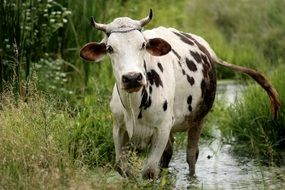a cow is walking on water