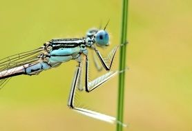 blue dragonfly on a blade of grass close up