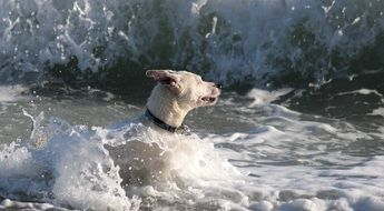 white dog is swimming in the sea