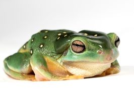 sitting green frog