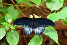 Beautiful Scarlet Mormon butterfly