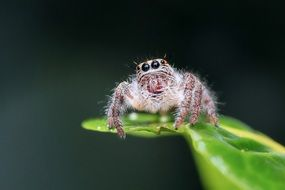 fluffy jumping spider