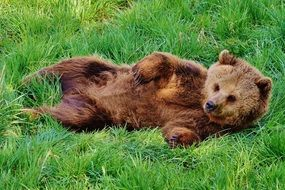 brown bear in the wildpark poing