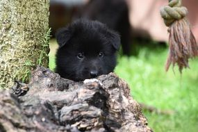 portrait of a belgian shepherd puppy among nature