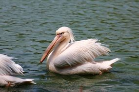 white pelicans on the water