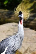 noble grey crowned crane