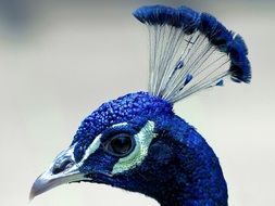 peacock head on blurred background