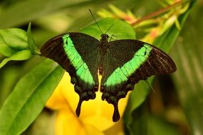 black butterfly with green stripes on a green leaf
