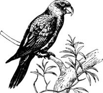 black and white picture of a parrot