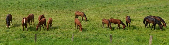 brown horses graze on a green meadow