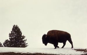 Bison on a field in winter