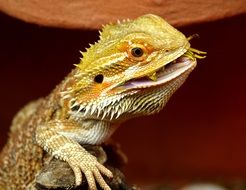 wild bearded dragon in Australia