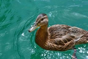 duck on turquoise water close up