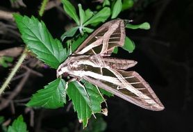 sphinx moth at night
