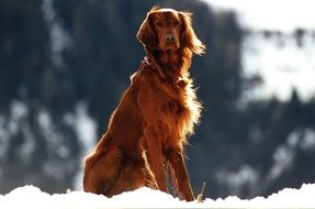 Pet Setter Dog snow portrait