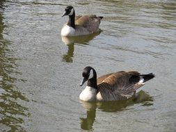 canadian geese in wildlife