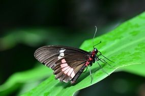 Parides eurimedes on a green plant