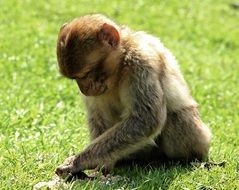 cute barbary ape on the green grass