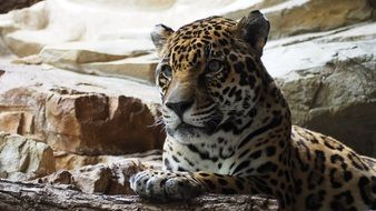 Large Predatory Jaguar