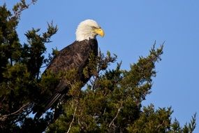 bald eagle on a tree branch with green leaves