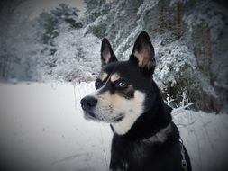 husky with different colored eyes walks in the forest in winter