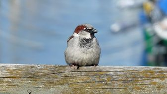 Sparrow sits on a log