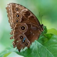 brown Butterfly Macro Pose Plant