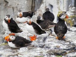 Picture of Puffins in the wildlife