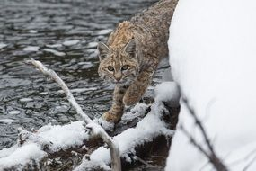 Lynx walking on Snowded log at river