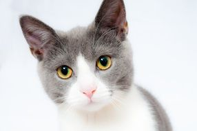 white gray domestic cat