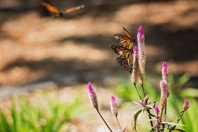 monarch butterflies collect nectar on pink flowers