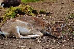 roe deer resting in the wildpark poing